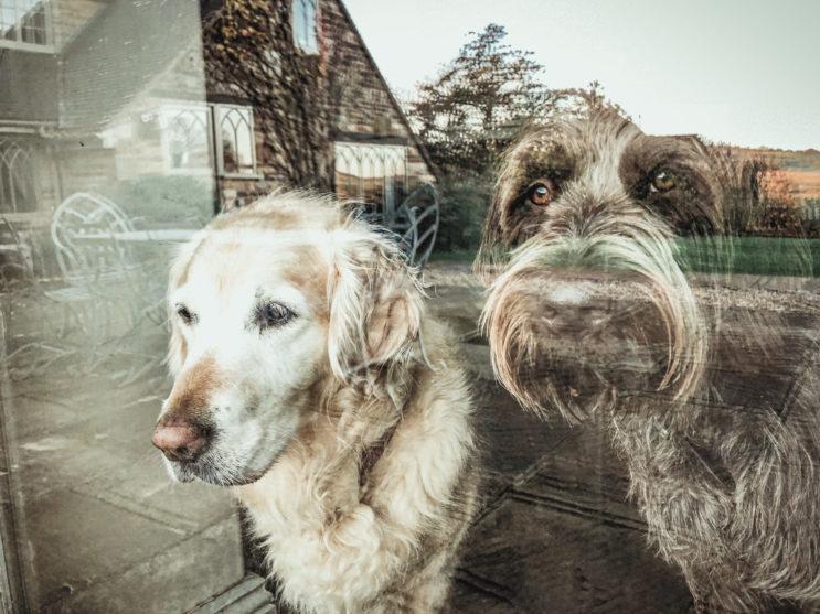 Anglický pes Betty a Fritz